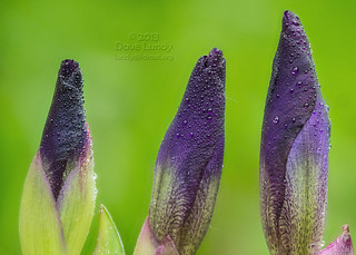 2013-05-02: (121/365) 3 Irises focus stacked P1030599-601 ZS PMax | by lundyd