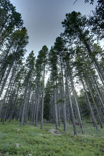 Pine forest, Cutler Hill, Bighorn National Forest, Sheridan County, Wyoming