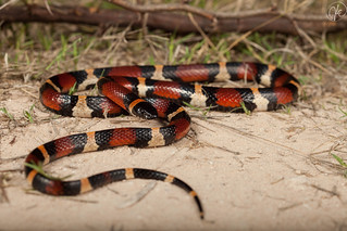 Lampropeltis triangulum annulata (Mexican Milk Snake) | by Kyle L.E.