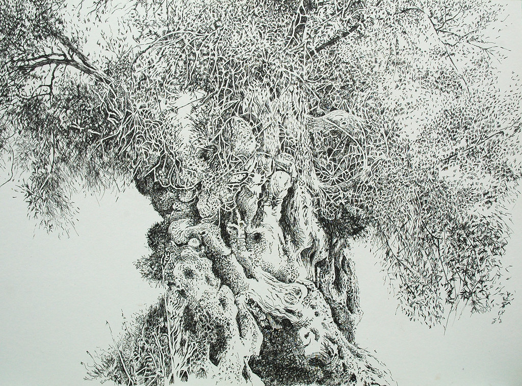 Olive Tree Drawing Pen And Ink On Board 30 X22 Chris Eccleston Flickr