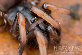 Tube Trapdoor Spider (Nemesiidae) - ESC_0219 | by nickybay