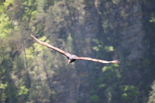 bird nature georgia wildlife gorge vulture turkeyvulture photocontesttnc13