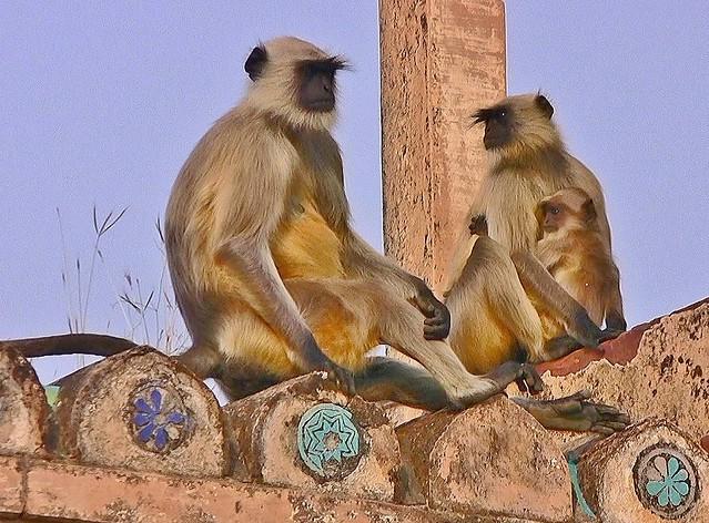 INDIEN, india - historisches Orchha, Hanuman-Languren beherrschen den alten Palast, 14125/6982