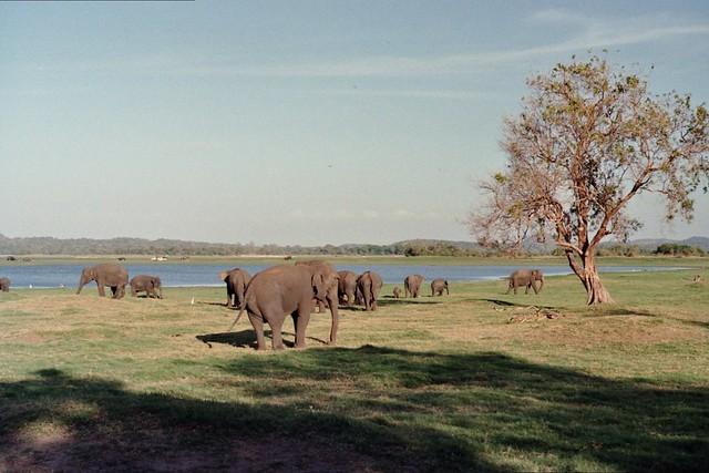 Minneriya National Park, Sri Lanka 643806-22-21A-PfDF43