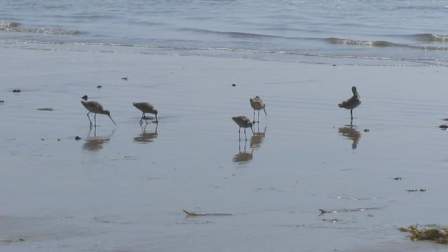 MVI_7747 marbled godwits on beach