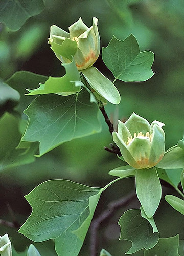 Tuliptree / Tulip poplar | by NatureServe