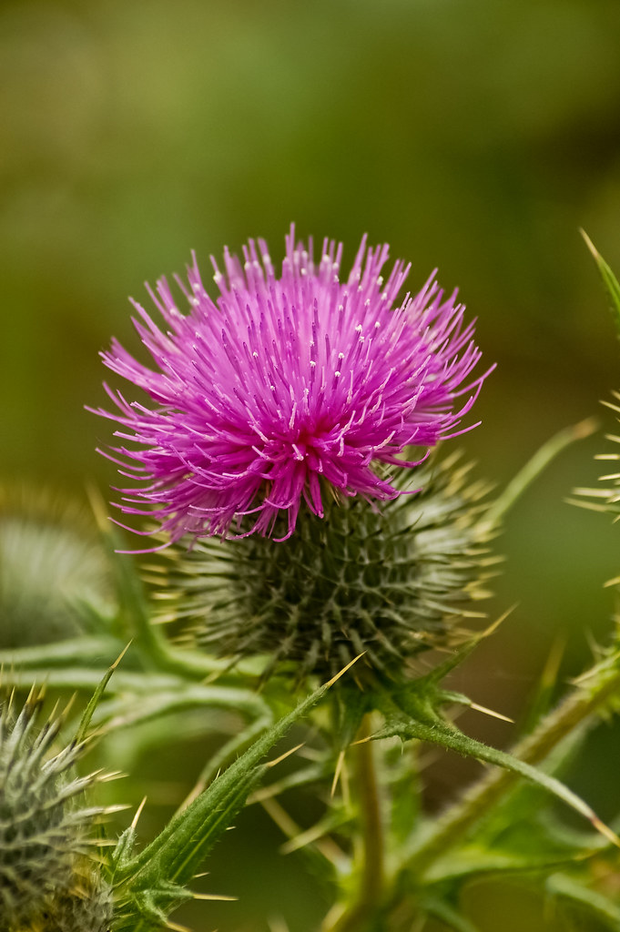 Thistle Flower | This picture has a special meaning to me ...