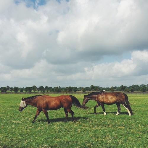 horse usa texas magnolia