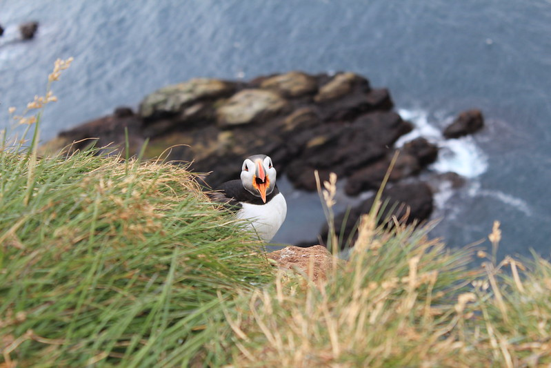 Puffin's shout