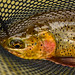 William Teuscher - South Fork of the Snake River, Idaho - Cutthroat Trout in Landing Net.
