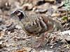 กระทาดงอกสีน้ำตาล Bar-backed Partridge (male) - Arborophila brunneopectus by Michael Gillam