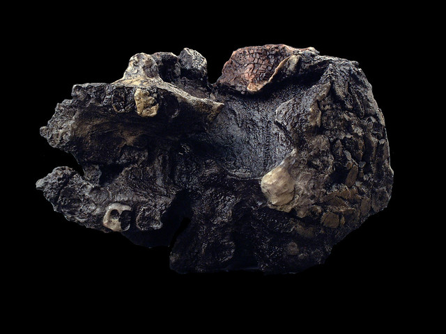 Hominid_Skull_Set_Kenyanthropus_platyops_KNM-WT-40000_013.jpg