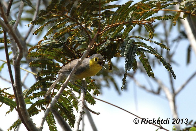 paruline  d oriente  - Oriente warbler