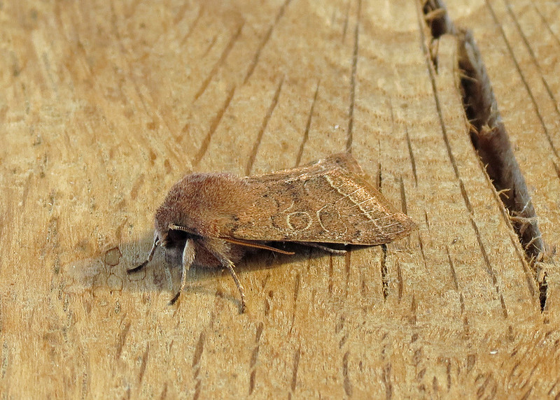2187 Common Quaker - Orthosia carasi