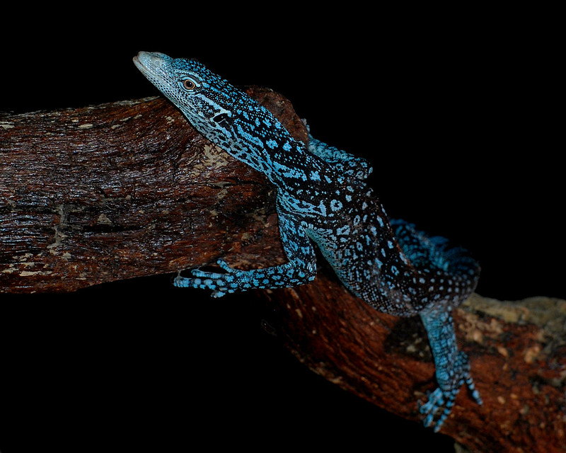 Monitor Lizard 2 130321
