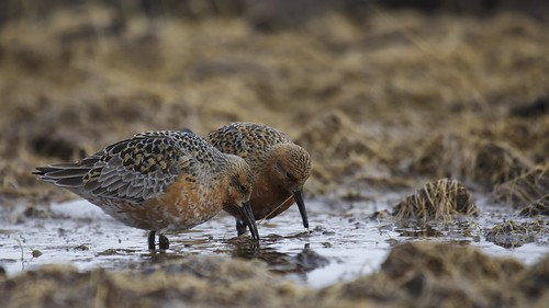 Red Knots | by Clare Kines Photography