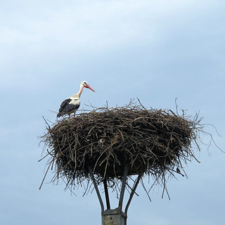Stork in its nest (AP4H1533 1PS)