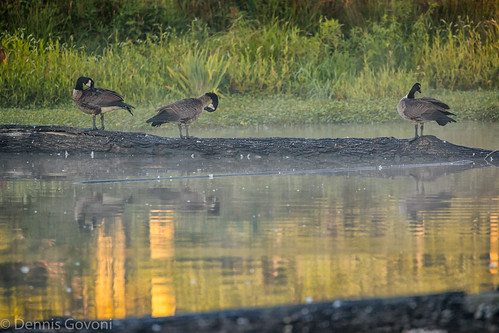 virginia bird huntleymeadows landscape reflection summer sunrise water wildlife alexandria unitedstates us