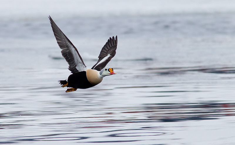 King Eider in flight