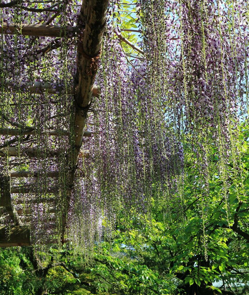 Tonnelle de Glycines en Fleur - Jardin du Sanctuaire Heian ...