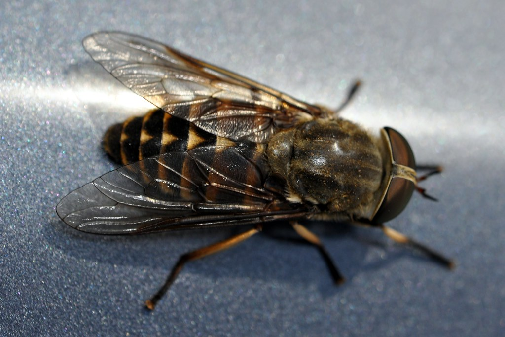 Broms / Dark Giant Horsefly (Tabanus sudeticus) | Martin