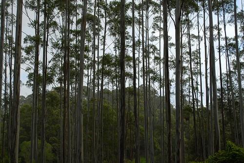 plants nature countryside scenery plantation treebark eucalyptus bluegum myrtaceae eucalyptussaligna