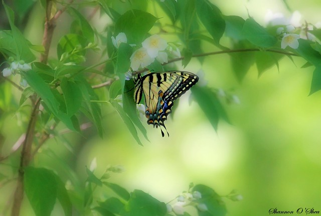 Tiger Swallowtail on Wild Mock-Orange