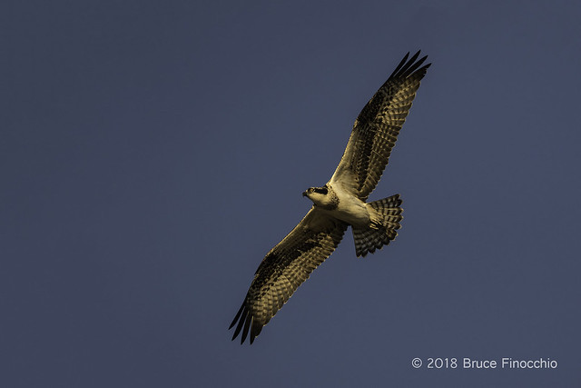 Osprey In Full Flight With Wings Spread