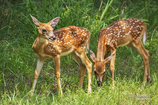 Baby Deer - Long Hunter State Park - Hermitage, TN