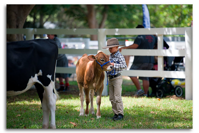 Young Cowboy showing his Calf Milton Show Day