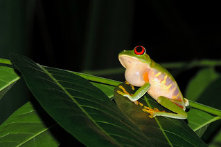 Banana Bank - Calling Red Eyed Frog | by Drriss & Marrionn