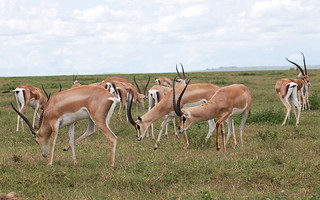 impalas-male-group | by quirkytravelguy