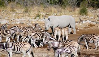 zebras-rhino-water-hole | by quirkytravelguy