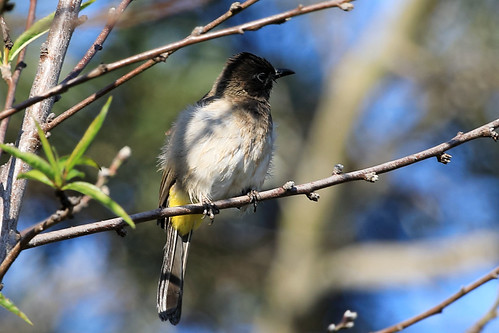 Dark-capped bulbul | by dmmaus