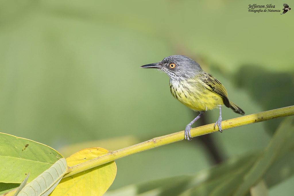ferreirinho-estriado - Spotted Tody-Flycatcher / Todirostrum maculatum - Iranduba - 28-07-18