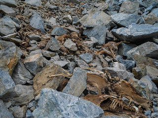 At least 30 dead deer that got caught in a rockslide or avalanche last fall | by snackronym