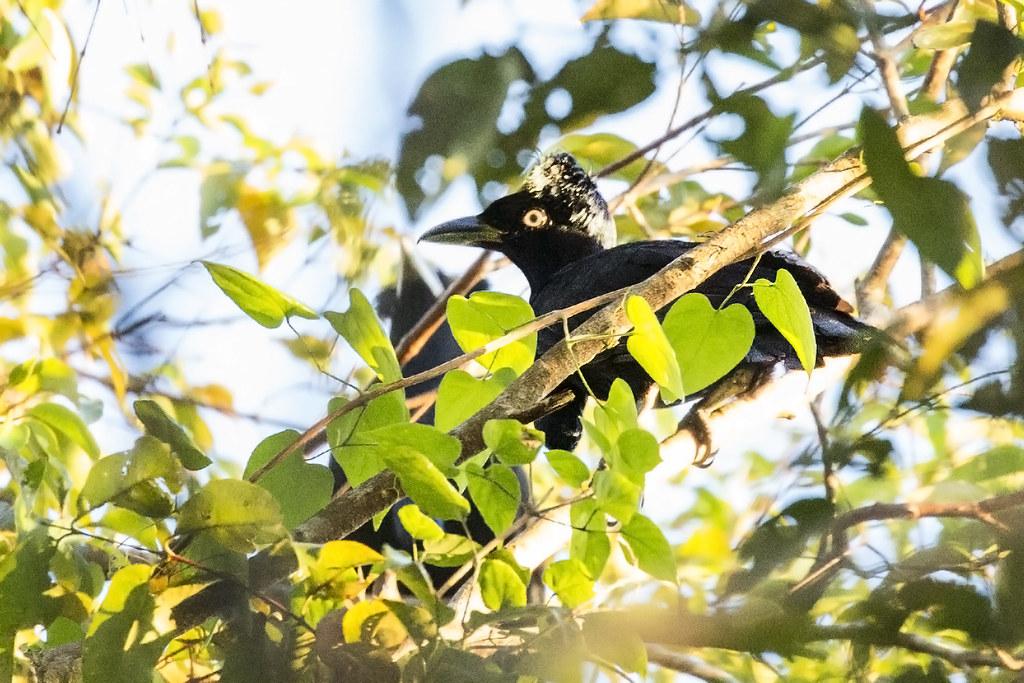 Amazonian Umbrellabird (Cephalopterus ornatus) 3 072218