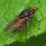 Gemeine Schnauzenschwebfliege (Duck-billed Hoverfly, Rhingia campestris)