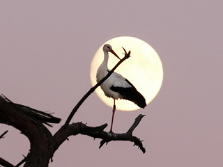 Stork in moonlight