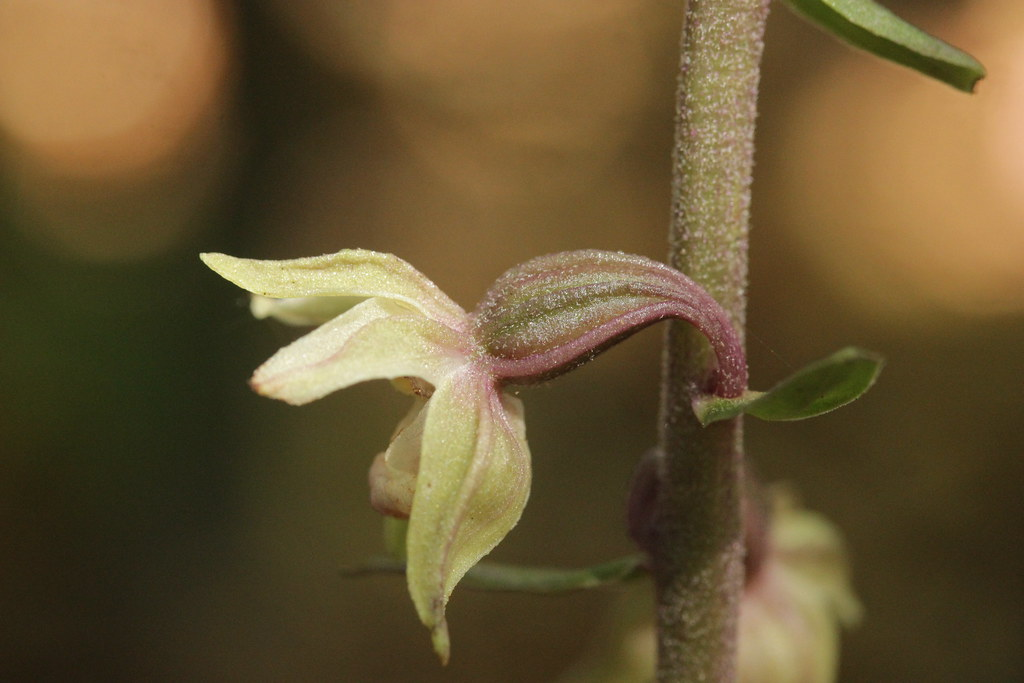 Violet Helleborine - Epipactis purpurata