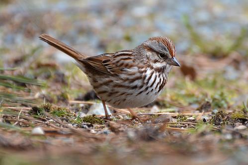sparrows birdwatcher songsparrow 2013 specanimal nikond7000 novascotiabirds