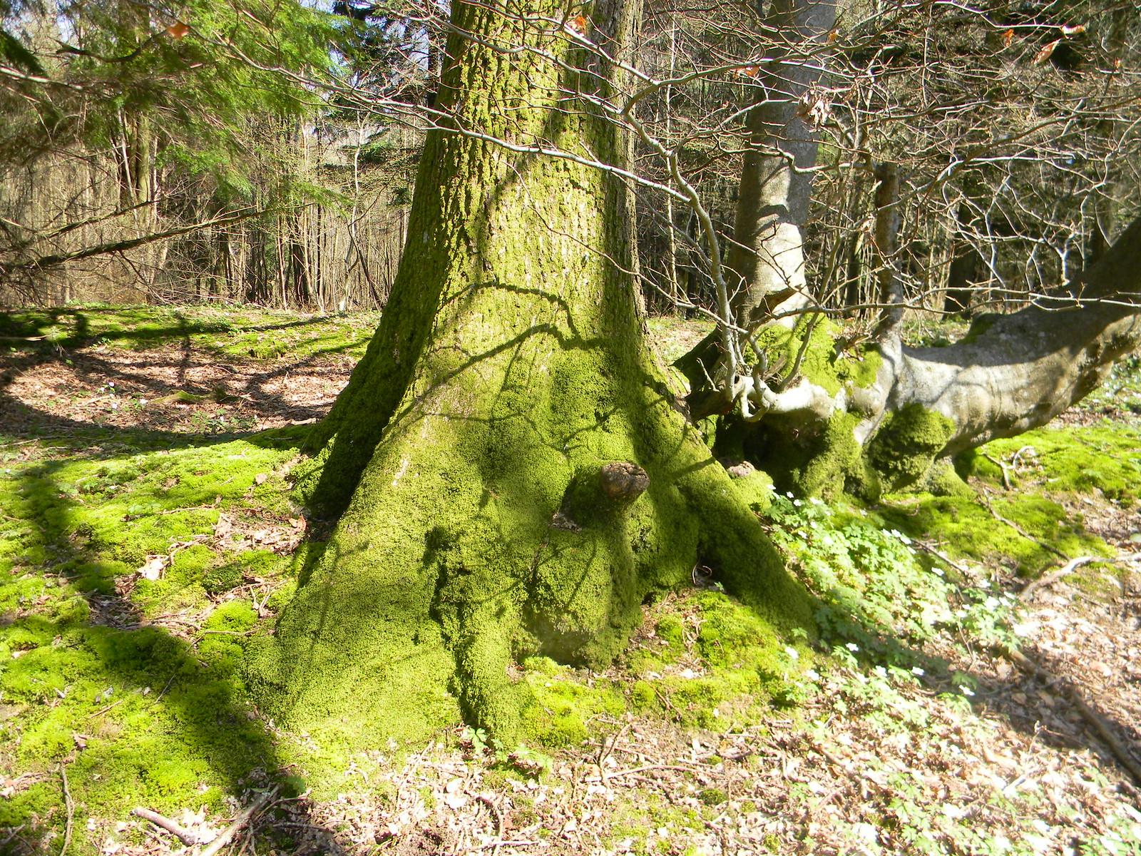 Mossy trunk As it happens, I got a bit 'mossy trunk 'last night. Robertsbridge to Battle