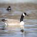 Swimming Goose