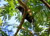 """Gavilan pico ganchudo / Hook-billed Kite """"Chondrohierax uncinatus"""" by Erick Manuel Hernandez /Observador de Aves de El S"""
