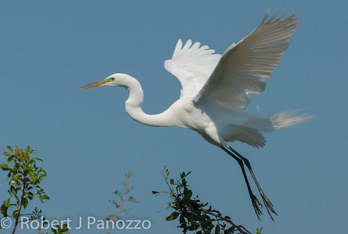 bird egret greategret rookery veniceareaaudubonsocietyrookery