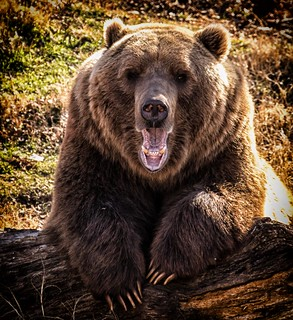 The Old Bear | by Kool Cats Photography over 12 Million Views