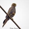 Falco ardosiaceus 20130423_38384 by phhoog