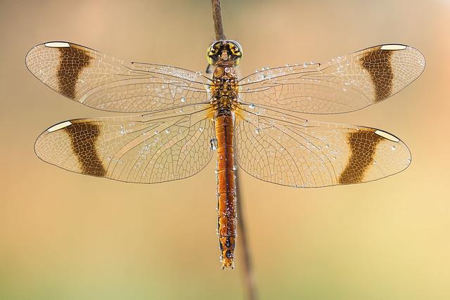 Sympetrum pedemontanum ♀