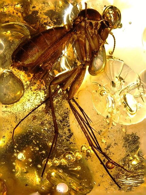 Baltic amber (45 MYO) - Pyrite and fungus gnat (body 6 mm)