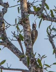 Bearded Woodpecker_7809-20151012